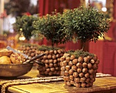 Original hazelnut cache-pot with a myrtle bush