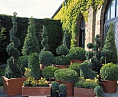 Topiary box trees of various shapes in terracotta pots