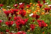Bergamot in flower-bed