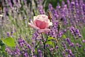 Einzelne Rosenblüte vor Lavendelbeet