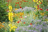 Farmhouse garden in full bloom, marigolds, poppies