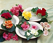 Plate decorated with various begonia flowers