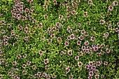 Flowering wild thyme