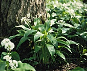 Flowering ramsons (wild garlic) in a wood