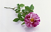 Alte Rosensorte: Rosa mundi