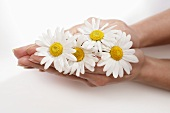 Woman's hands holding four marguerites