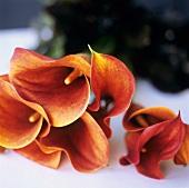 Calla lilies, lying
