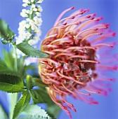 Pin cushion flower and Lysimachia