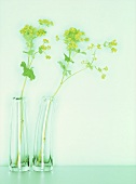 Lady's mantle in two glass vases