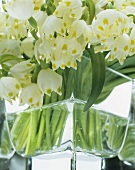 Several spring snowflakes in a glass vase