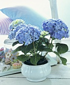 Blue hydrangeas in a white flowerpot