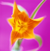 An orange flower against a pink background