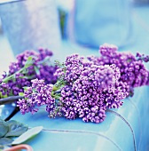 Purple lilac on pale-blue background