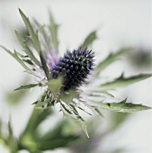 Eine Edeldistel (bot. Erynginum alpinum, Nahaufnahme)