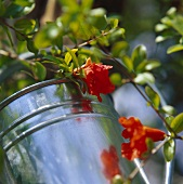 Flowering sprig of ornamental pomegranate tree in watering can