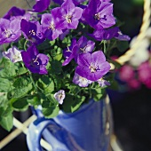 Blue flowered campanula