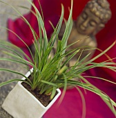 Japanese sedge in pot (Carex morrowii)