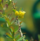 Sprig of Berberis with yellow flowers