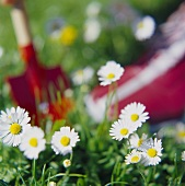 Daisies in meadow with trowel in background
