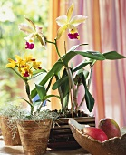 Orchids in window: Encyclia with Spanish moss and Cattleya