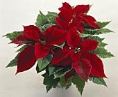 Weihnachtsstern mit leuchtend roten Hochblättern