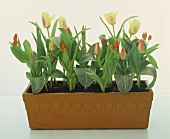 Large-flowered tulips and wild tulips in terracotta planter