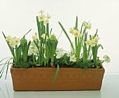 All in white, primulas, narcissi, hyacinths etc.