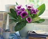 Gloxinia (tropical house plant with purple flowers)