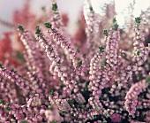 Double pink Calluna (close-up)