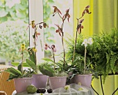 Table with orchids (Lady's slipper) and fern