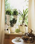 Plants for a sunny window, Madagascar palm, Kalanchoe etc.