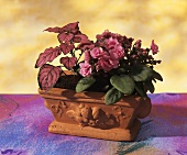 African violets with Coleus in a terracotta planter