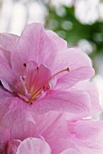 Pink flower of a potted azalea