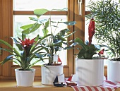 Fish tail palm, Bromeliads, asparagus fern in white cache-pots