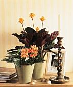 Beautiful plant combination, Crossandra and Calathea