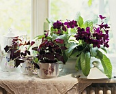 Streptocarpus hybrids and purple Brazilian Oxalis