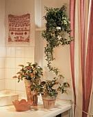 Mediterranean terracotta pots of Shrimp plant and ivy