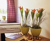 Spring decoration in kitchen, flowering tulips in pots
