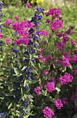 Blue Viper's bugloss with pink Campions