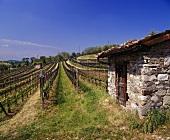 Netze schützen die Reben - Weinberg mit Steinhaus in Mendrísio im Tessin, Schweiz