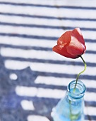 A poppy in a glass bottle
