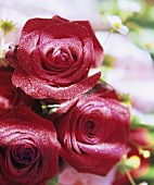 Three wet, red roses with strawberry flowers