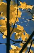 Herbstliche Blätter vor blauem Himmel