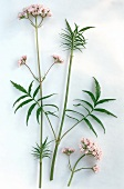 Sprig of valerian with leaves and flowers