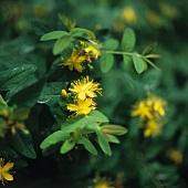 Johanniskraut mit gelben Blüten (bildfüllend)