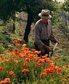 Man mowing poppy flowers in Piedmont