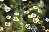 Camomile flowers in the open air