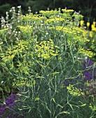 Fennel in herb garden