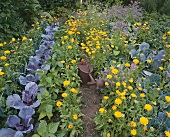 Vegetable bed with marigolds and watering can