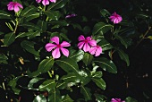 Madagascar periwinkle plants with pink flowers